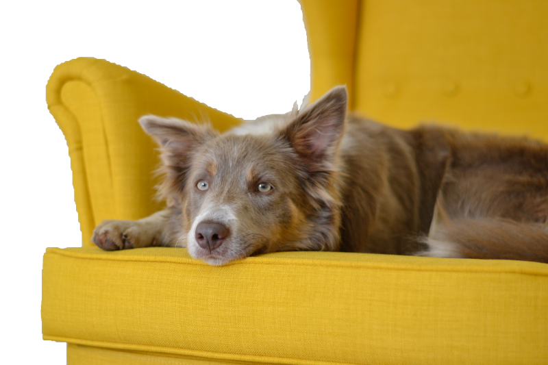 yellow couch with dog laying on it